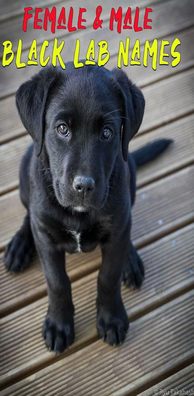 Best Dog Names For Labrador Retriever Black Dog Names Black