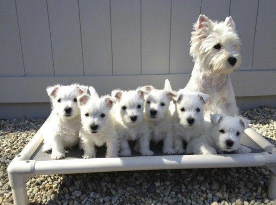 2054 best images about Cute Westies!!!
