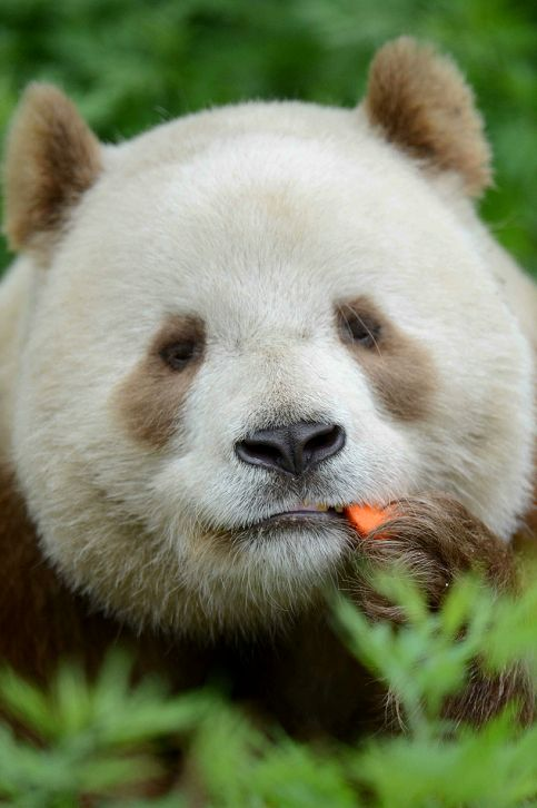 Giant Brown Panda named QiZai from China.