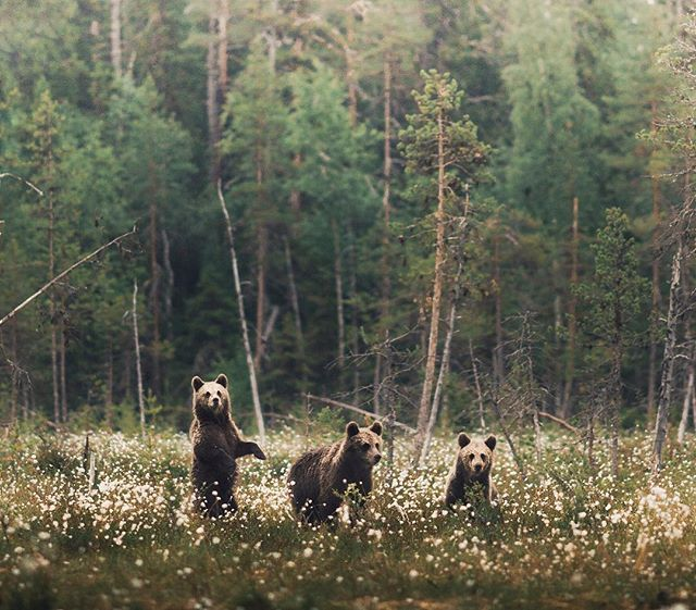 ~ The three BEAR-keteers  @ourfinland #martinselkonen #wildtaiga