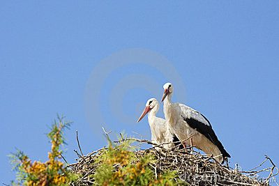 Two white storks in their nest.