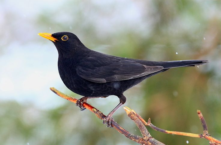 Common Blackbird | (Turdus merula)