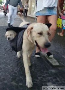 Lino walking with Puppies on backpack | Gif Finder – Find and Share funny animated gifs