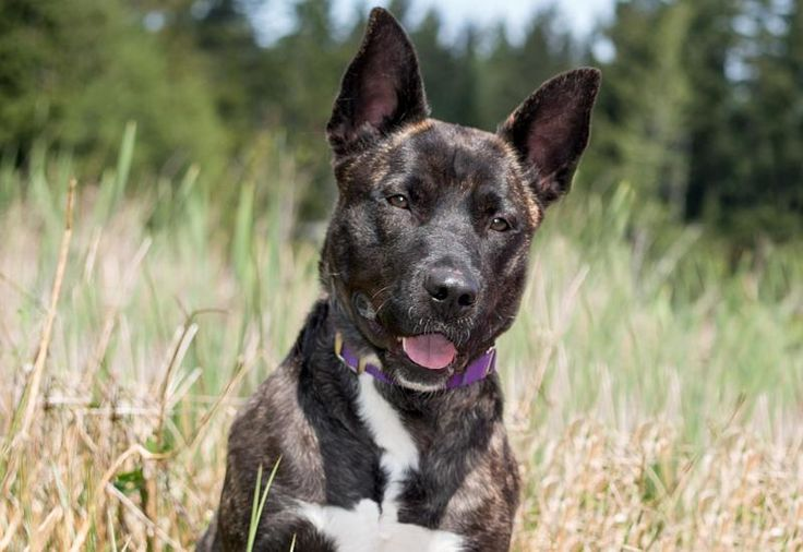 WA - Meet Kelsey, a Petfinder adoptable Cattle Dog Dog   Snoqualmie, WA   Kelsey is a beautiful, sweet girl.  Her favorite things are people to cuddle with and bunnies to...