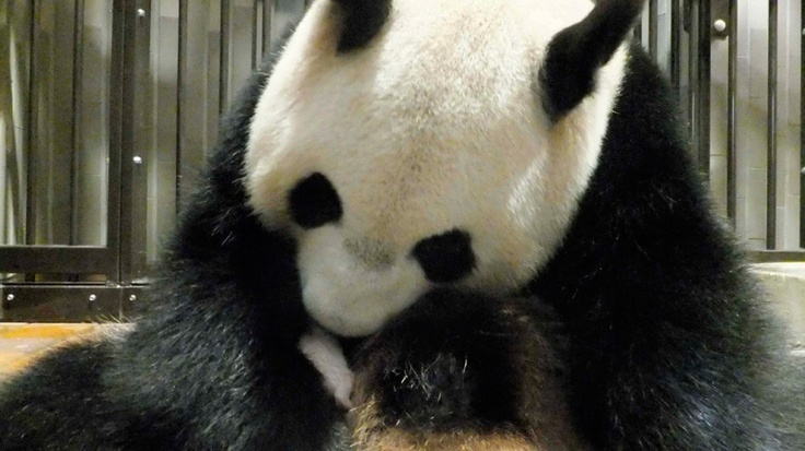 In this photo taken Monday, July 9, 2012 and released by the Ueno Zoological Park Society Tuesday, July 10, 2012, Shin Shin, a 7-year-old giant panda, holds her newly born baby, center, in her cage at Ueno Zoo in Tokyo. (AP / Ueno Zoological Park Society): Baby Pandas,  Pandas Bears, Newborns Baby, Shin Shinuenozoo, Pandas Pictures, Ueno Zoos, Zoology Parks, Ueno Zoology, Giant Pandas