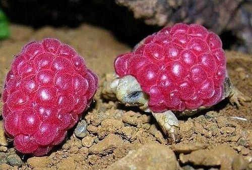 """""""If you're ever having a bad day, here is a picture of a little turtle wearing a raspberry""""."""