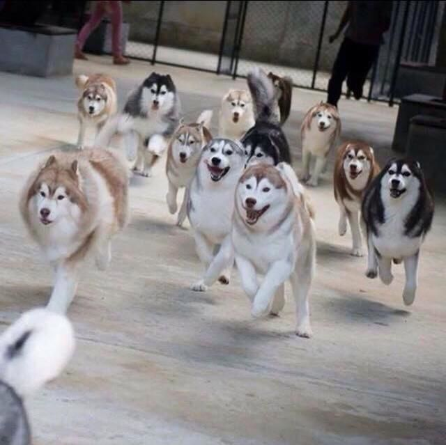 Siberian Husky Pack on the Run via MaPaw Siberian Husky Rescue
