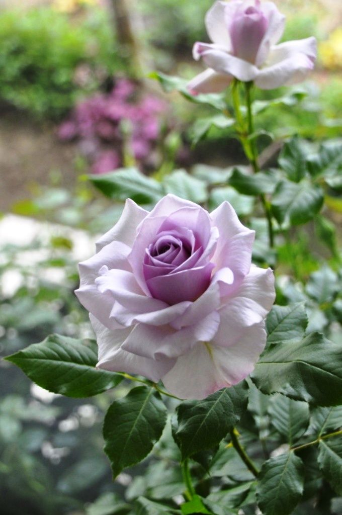 'Nicole Carol Miller-Lilac Beauty'| Grandiflora, Hybrid Tea Rose. Bred by Meilland International (France, 2004)