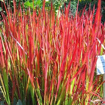 Japanese Blood Grass for Sale Online – Greener Earth Nursery