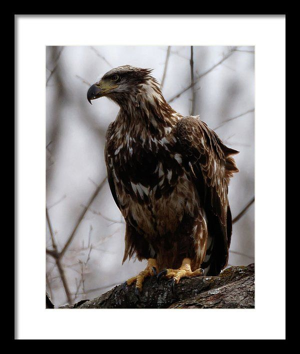 Bird Photography Framed Print featuring the photograph Juvenile Bald Eagle by Rich McPeek