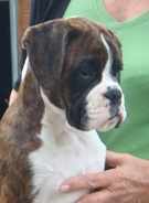 A typical puppy head from Newlaithe Boxers, South Yorkshire  Now this is the head I love!!!