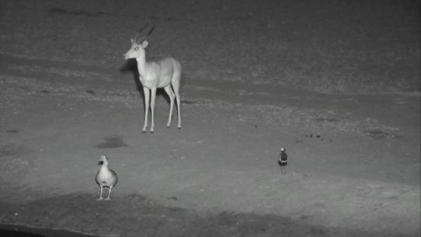 Impala, Egyptian Goose and Blacksmith Lapwing at Nkorho - May 18 2016 - 1:05am | Africam