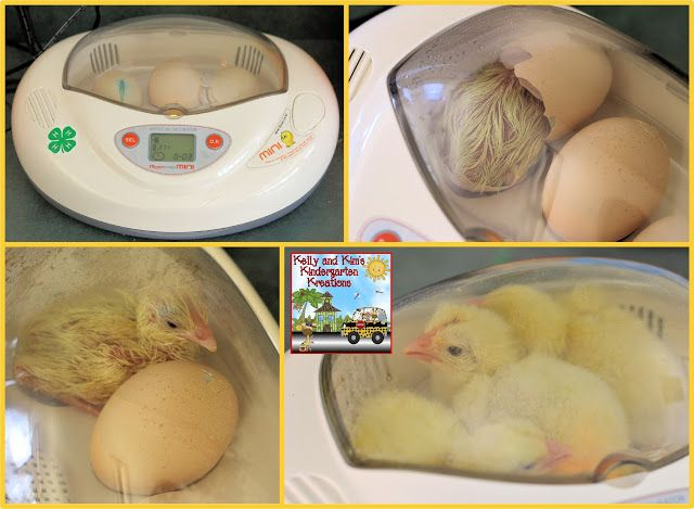 Chicks in the classroom!