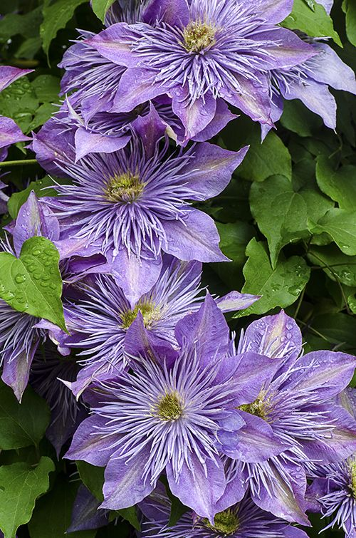 Clematis ~ by Cindy Dyer