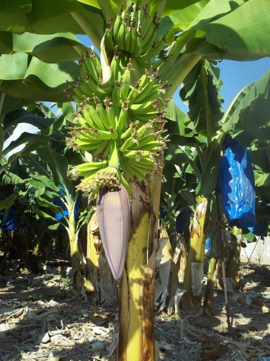 You should try the Cypriot bananas