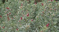 Coast or Grey Saltbush (Atriplex cinerea). 1-2m high x 2-3m wide. Grows in well-drained sandy soils. Tolerates salt winds. Makes a good low screen for coastal areas. Displays pink globular flower clusters. Important Blue Wren habitat.