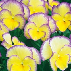 This Live Picotee Violet Pansy - Set of Two by Michigan Bulb
