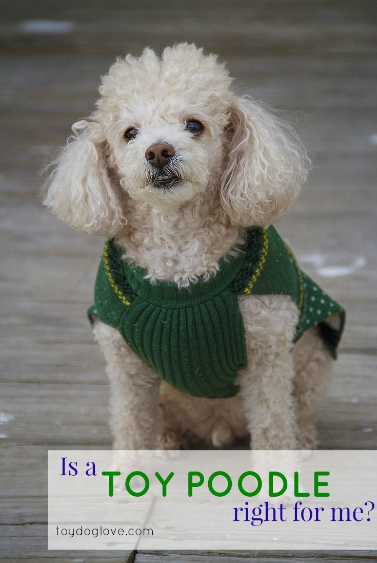 All about Toy Poodles - personality, adaptability, grooming and exercise needs and kid-friendliness.