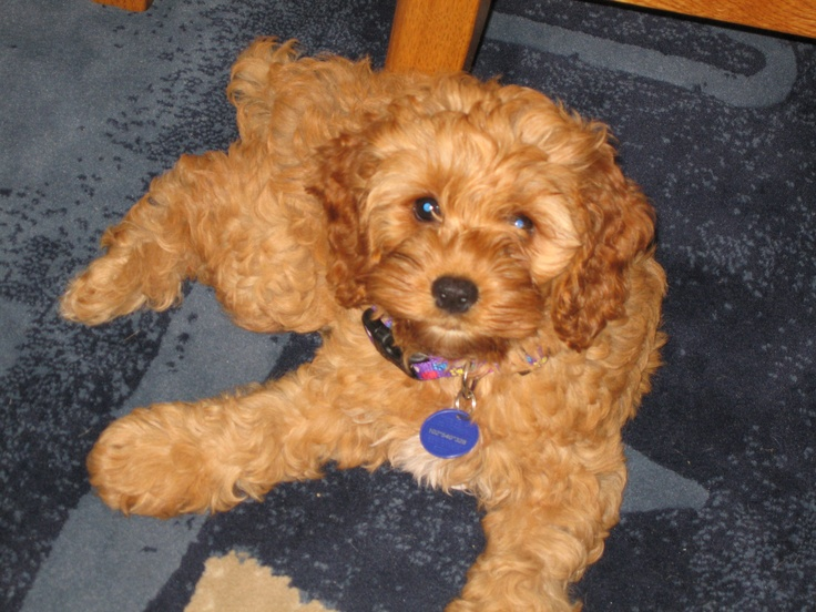 I want one! Cocker/poodle mix. Presh!