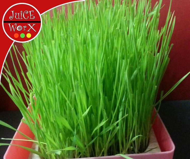 Did you know that 50ml of fresh Wheatgrass Juice is equal to 1,4 kg of organic vegetables in vitamins and minerals? #JuiceWorx #wheatgrass