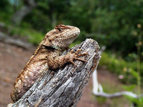 """Até mesmo os lagartos possuem sua versão da """"mulher barbada"""" – fêmeas que apresentam traços pouco atraentes para acasalamento."""
