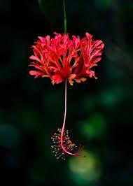 Image result for hibiscus schizopetalus
