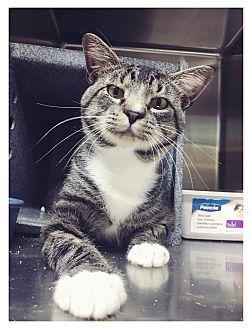 Everman, TX - Domestic Shorthair. Meet Danny, a cat for adoption. http://www.adoptapet.com/pet/16485741-everman-texas-cat