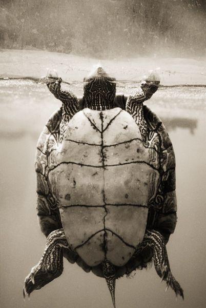 Henry Hortenstein. Map Turtle