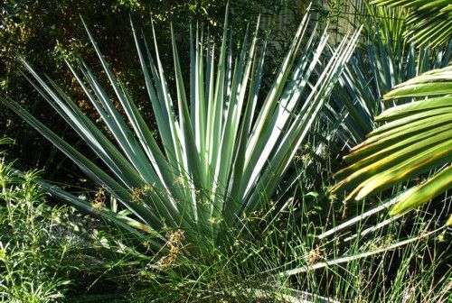 26 Best Images About Yucca Agave And Similar On