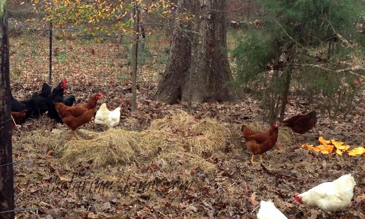 How to raise free range chickens: A discussion of the pros and cons of free ranging your backyard chickens including free ranging in the winter.
