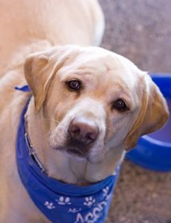 Our Dogs | Desert Labrador Retriever Rescue