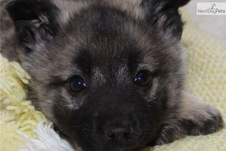Norweign Elkhound | Norwegian Elkhound puppy for sale near Grand Rapids, Michigan ...