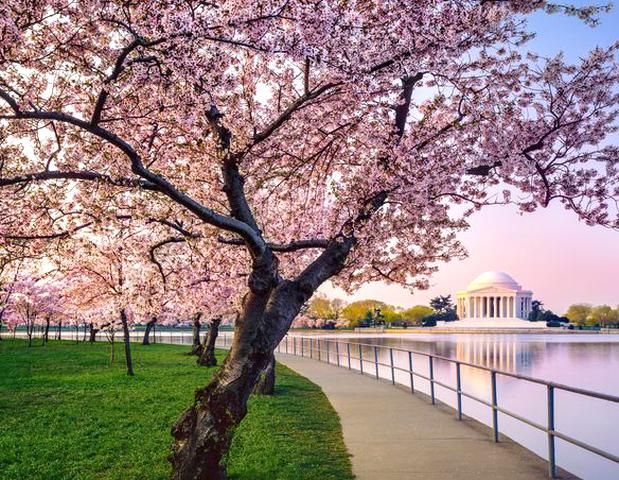 Jefferson Memorial And Cherry Blossoms Washington Dc In 2020 Fast Growing Trees Cherry Blossom Japanese Cherry Tree