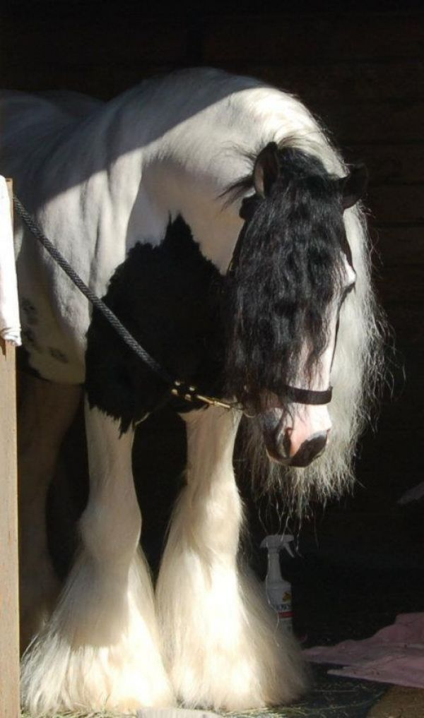 Gypsy Vanner Stallion ~ Highway Star