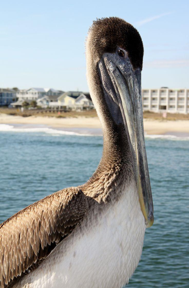 Pelikan.Wilmington.USA.My picture.