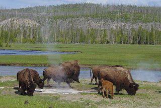 Bisão-americano ou bisonte-americano (Bison bison) pastam nas pradarias, em grandes manadas, migrando para sul durante o inverno e já foram extremamente abundantes na América do Norte.