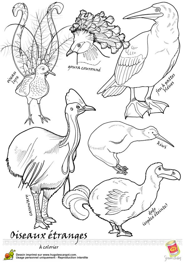 cassowary coloring pages - photo#10