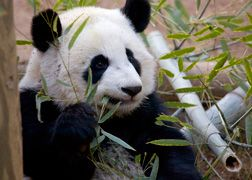 Zoo Atlanta: PandaCam will be running 24 hours a day during Giant Panda Birthwatch 2013. Watch and wait with us as we get ready to welcome cub number four! -- #Panda #birth