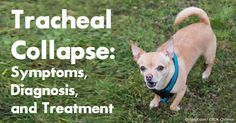 Small breed dogs are at risk of tracheal collapse, so if your pet is exhibiting symptoms such as frequent coughing and gagging, take him to a vet immediately. http://healthypets.mercola.com/sites/healthypets/archive/2012/05/21/tracheal-collapse-dog-treatment.aspx