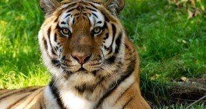 Conseguem recolher as unhas tal como os gatos, têm uma visão noturna até seis vezes melhor que a nossa e uma capacidade de salto incrível – recentemente um tigre foi filmado a saltar 4 metros de altura para atacar um ranger em cima de um elefante adulto.