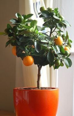 Miniature orange tree makes a perfect colorful plant for a small space!