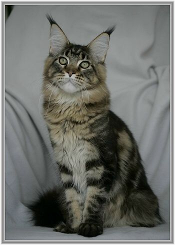 Maine Coon, Black tabby Blotched (n 22). Big Giants Resort's Harvey
