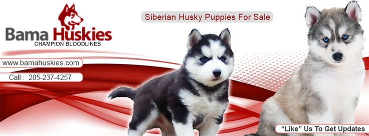 Nala's New Puppy Pics – Siberian Husky Puppies For Sale
