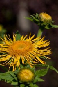 Seinen Namen trägt das Johanniskraut vom Johannistag, dem 24. Juni. Genau um diese Zeit zeigt die sonnenhungrige Kräuterpflanze ihre wunderschönen, gelben