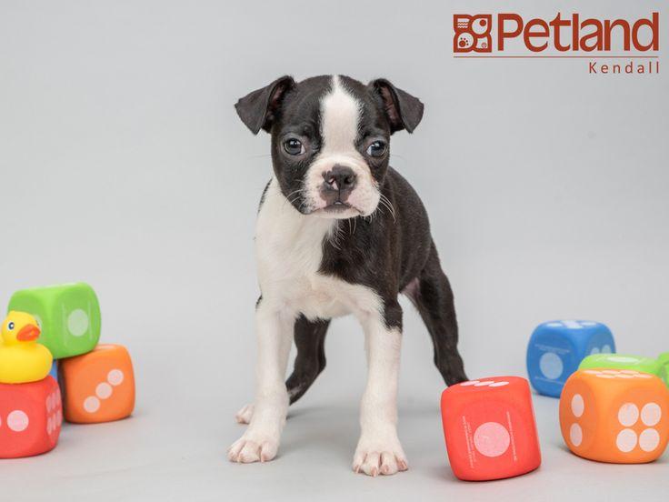 Petland florida has boston terrier puppies for sale