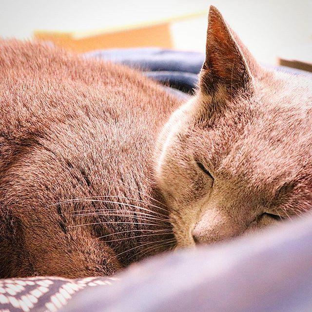 . お気に入りの渋めのおざぶに もこもこ毛布の冬アイテム🎵 . 気持ち良さげに眠り猫|ωΦ)ฅ🐾 . . #猫 #ねこ #cat  #ロシアンブルー  #russian_blue #ねこ部  #うちのにゃんこ #愛猫  #ネコスタグラム  #catstagram  #もこもこ毛布に包まれて #眠り猫 #冬の至福 #猫好きさんと繋がりたい  #canon #kissx8i  #カメラ女子 #beginner #photograph #1day1shot  #カメラ好きな人と繋がりたい  #写真好きな人と繋がりたい  #写真撮ってる人と繋がりたい  #ファインダー越しの私の世界