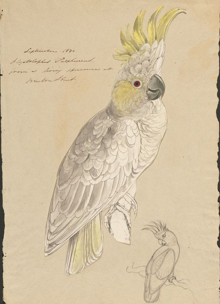 Lesser sulphur-crested cockatoo : ink, graphite and watercolour drawing.  by Edward Lear