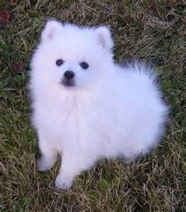 The Toy American Eskimo Dog is really a member from the Spitz family members.