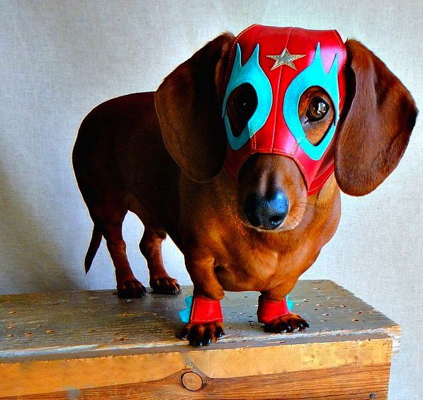 Weiner Dog Halloween Costumes also Weiner Dog Costumes q3iwnQveHYE9NSYAi dQwN 5UoF 7CWHc8 RRKbCHeIo moreover Sauerkraut Days Parade as well Doxies Love Costumesright besides Buzztopics Keywords Suggestions For Weiner Dog Hot Dog Costume A8a93b759e4a3eb9. on oscar meyer weiner costume