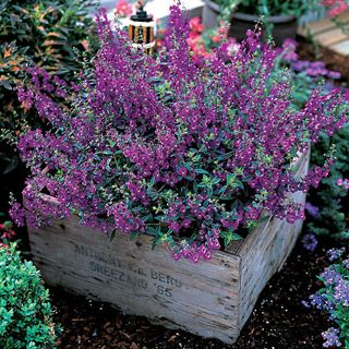 """""""Serena Angelonia"""" I've been reading alot about this plant. Heat tolerant, full sun,repeat bloomer, easy care. Gotta try this one. :)"""